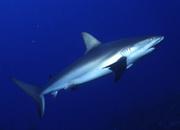 Акула — самое прожорливое животное
