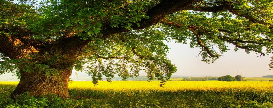 фото дерева дуб.
