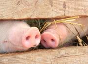 Самые нечистоплотные животные — свиньи
