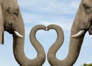 Слон пьет воду хоботом