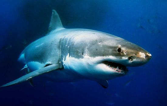 Акула (Shark)