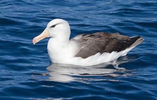 Альбатрос (Albatross)