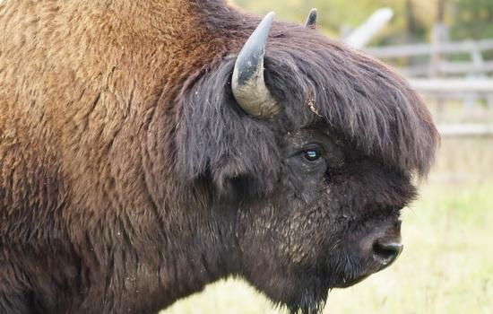 Бизон (Bison)