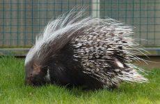 Интересные факты про Дикобраза (Porcupine)