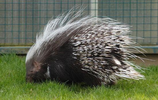 dikobraz-porcupine