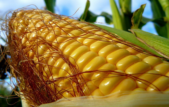 Для чего кукурузе шелковая прядь