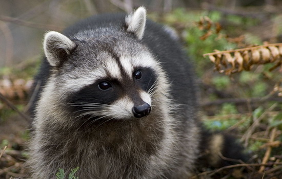 enot-raccoon