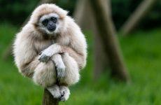 Интересные факты про Гиббона (Gibbon)