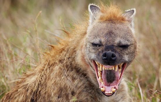 Гиена (Hyena)