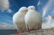 Интересные факты про Голубя (Pigeon)