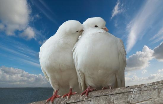 Голубь (Pigeon)