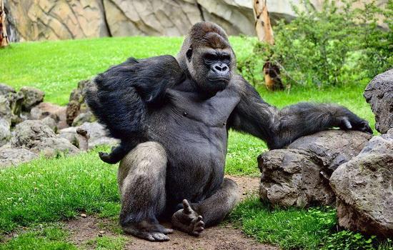 Горилла (Gorilla)
