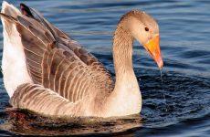 Интересные факты про Гусей (Goose)