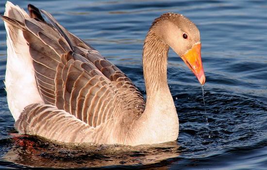 Гусь (Goose)