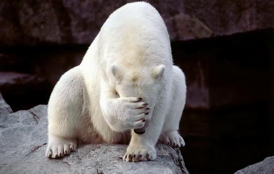 Как маскируются белые медведи