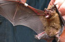 Какое зрение у летучих мышей ?