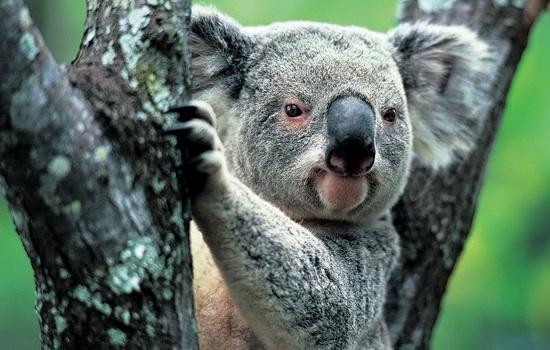 koala-koala