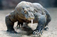 Интересные факты о Комодском варане (Komodo Dragon)