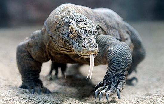 komodskij-varan-komodo-dragon
