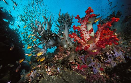 Коралл (Coral)