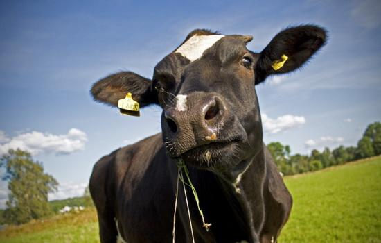 korova-cow