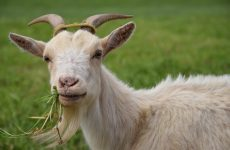 Интересные факты про Козу (Goat)