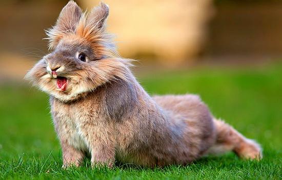 krolik-rabbit