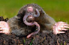 Интересные факты про Крота (Mole)