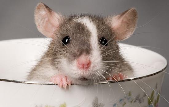 Крыса (Rat)