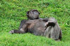 Кто волосатее — человек или шимпанзе ?