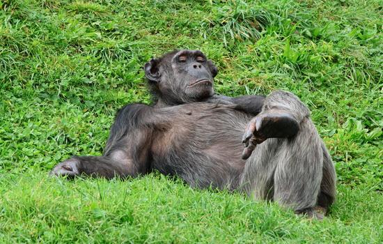 Кто волосатее — человек или шимпанзе