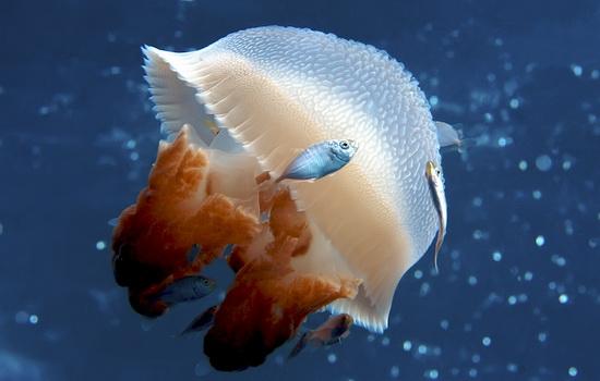 Кубомедуза (Box Jellyfish)