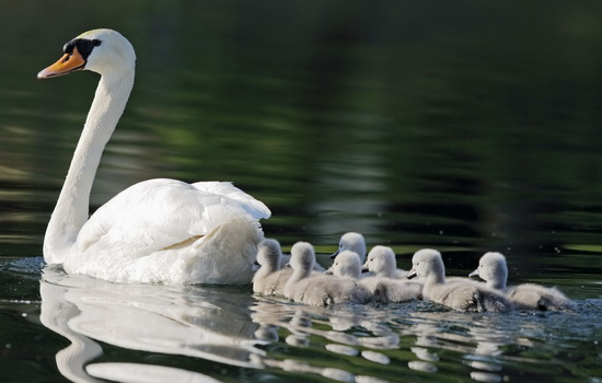 Mute swan, cygnus olor, adult, chicks
