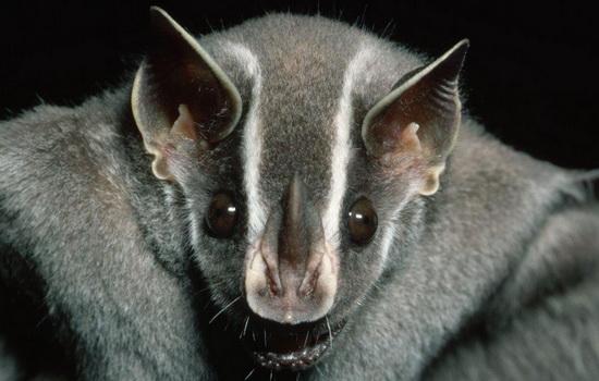 Летучая мышь (Bat)