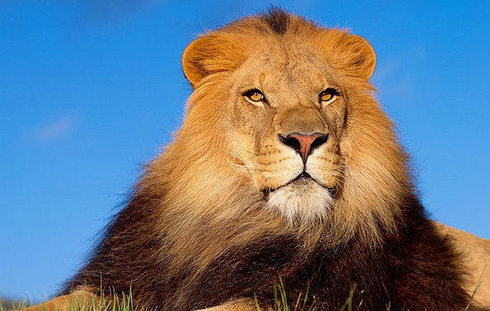 Лев (Lion)
