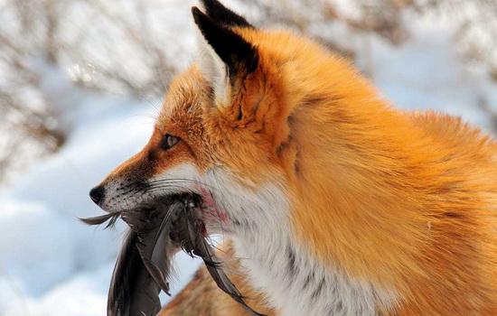 lisica-fox