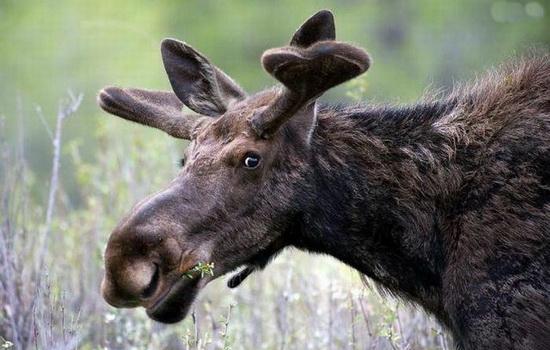 Лось (Moose)