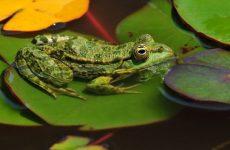 Интересные факты про Лягушку (Frog)