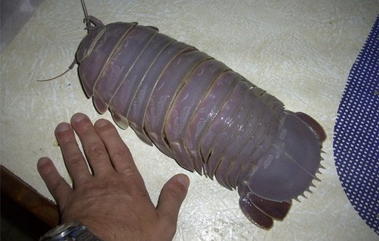 Мокрица (Woodlouse)