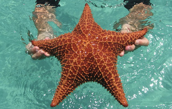 Морская звезда (Starfish)