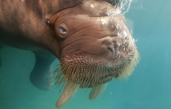 Морж (Walrus)