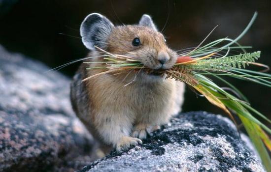 Можете ли вы назвать три вида британской мыши