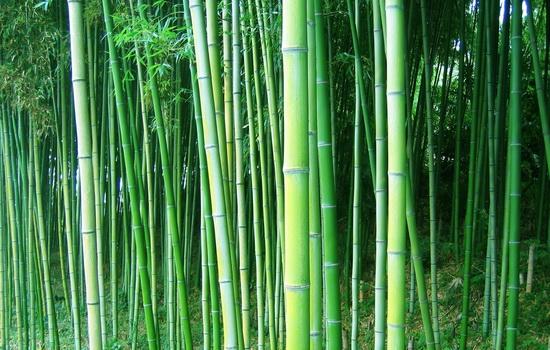 Можете ли вы назвать животное, которое ест только бамбук