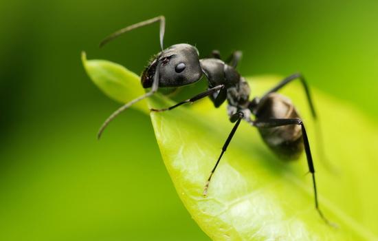 Муравей (Ant)