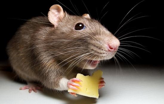 mysh-mouse