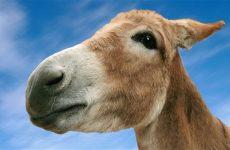 Интересные факты про Осла (Donkey)