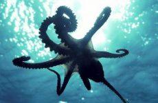 Интересные факты про Осьминогов (Octopus)