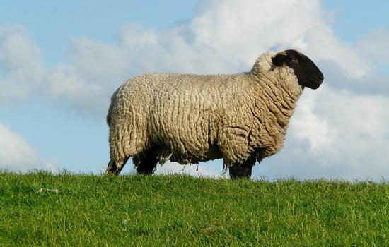 ovca-sheep