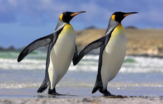 pingvin-penguin