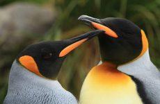 Пингвины — единственные птицы, которые плавают, но не летают